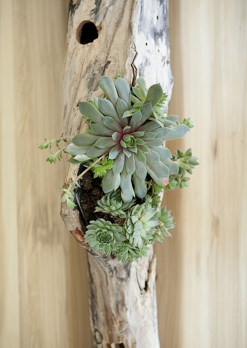 If you're looking for a reason to hit the beach this summer, do I have the reason for you. Amidst redoing the dining room, I knew the table centerpiece had to be a knock out. Hence, this DIY driftwood succulent centerpiece came to be. And it only took ten minutes to make. /// DIY Succulent Driftwood Centerpiece | DIY Projects | DIY Home Decor | DIY Deco | Jessica Brigham Magazine Ready for Life