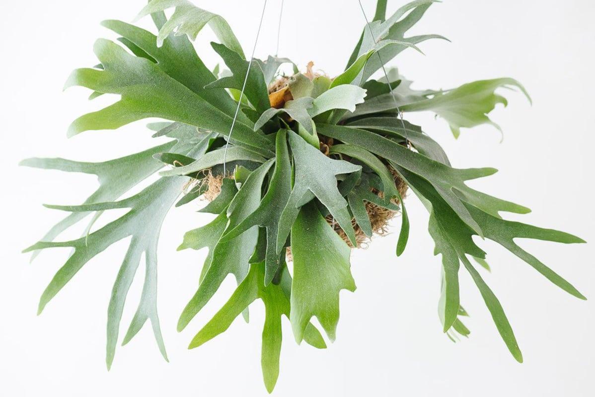 10 non toxic houseplants that won t kill your pretty kitty for Non toxic ferns